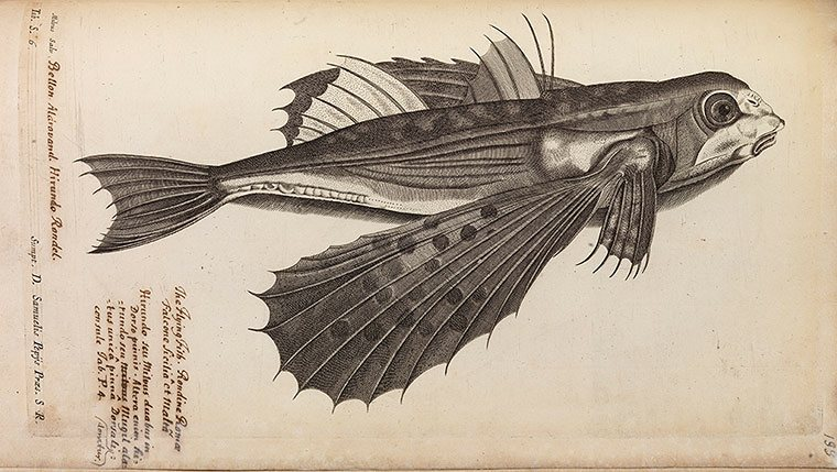 Study-of-a-flying-fish-fr-012